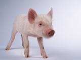 Yorkshire Piglet Papier Photo
