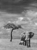 Adult African Elephant with Calf Papier Photo