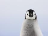 Emperor Penguin Chick Papier Photo par Keren Su