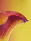 Pink and Yellow Calla Lily