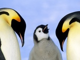 Adult Emperor Penguins (Aptenodytes Forsteri) and Chick, Atka Bay Colony, Weddell Sea, Antarctica. Papier Photo par Wayne Lynch