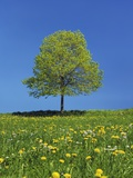 Lime tree in a field of dandelions