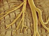 Interior of moth larva