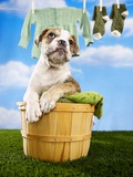 Bulldog Puppy in Laundry Basket