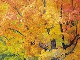 Red Maple in Autumn Foliage  Canada