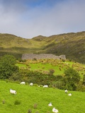 Sheep grazing near Staigue Stone Fort on the Iveragh Peninsula