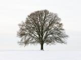 Old oak tree on a field in snow