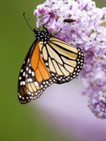 Monarch Butterfly (Danaus Plexippus) Nectaring on Lilac Flowers  Wanup  Ontario  Canada