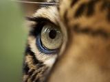 Captive Jaguar at Las Pumas Rescue Shelter