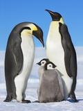 Emperor penguins with chicks Papier Photo par Frank Krahmer