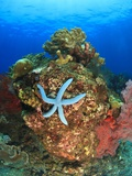 Blue Sea Star and brilliant red sea fans near Komba Island in the Flores Sea  Indonesia