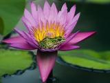Frog on Waterlily in Urban Pond; Leo Mol Garden; Assiniboine Park  Winnipeg  Manitoba  Canada
