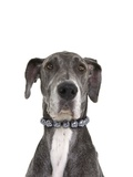 Great dane wearing a pearl necklace