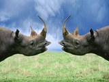 Rhinoceroses Looking at Each Other