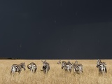 Burchell's Zebras on Savanna Below Stormy Sky