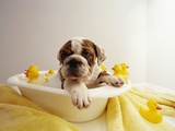 Bulldog Puppy in Miniature Bathtub