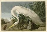 Héron blanc Giclée par John James Audubon