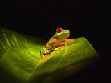 Red-eyed tree frog on leaf