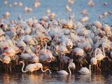 Greater flamingo colony in lagoon