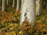 Colorful Autumn Leaves and White Trunks of Aspen Trees