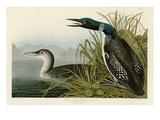 Great Northern Diver or Loon Giclée par John James Audubon