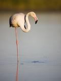Greater flamingo in lagoon