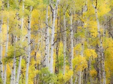 Stand of Aspens in autumn
