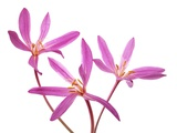 Three Pink Colchicum Flowers on White Background