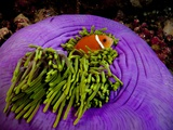 Anemonefish and large anemone