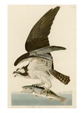 Fish Hawk or Osprey Giclée par John James Audubon