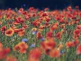 Common poppies and cornflowers