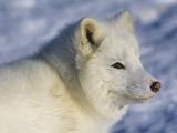 Artic Fox (Alopex Lagopus) Massey  Ontario  Canada
