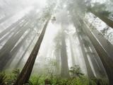 Redwood trees near Damnation Creek Trail