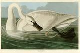 Cygne trompette Giclée par John James Audubon