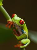 Rainette aux yeux rouges, Costa Rica Papier Photo par Paul Souders
