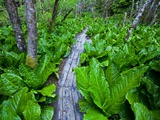 Skunk cabbage along wooden trail on the Oregon Coast near Coos Bay