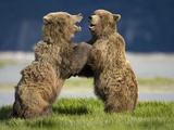 Grizzly Bears Sparring at Hallo Bay in Katmai National Park