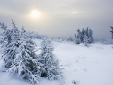 Snow covered spruce trees near arctic circle in late fall