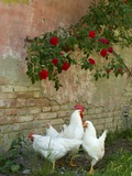 White chickens beneath roses