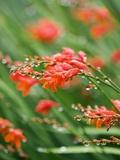 Raindrops on crocosmia x crocosmiiflora  or red king