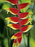 Heliconia  Trinidad  West Indies