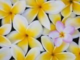 Fleurs de frangipanier Papier Photo par Darrell Gulin