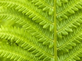 Cinnamon Fern (Osmunda Cinnamomea) Detail of Emerging Fronds  Lively  Ontario  Canada