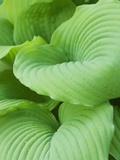 Piedmont Gold hosta leaves