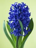 Blue Star hyacinth