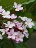 Pink frangipani in bloom