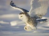 Snowy Owl in Flight Hunting