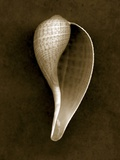 Graceful Fig Shell 2