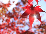Sun Shining Through Maple Leaf