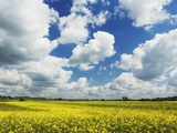 Idyllic rape field